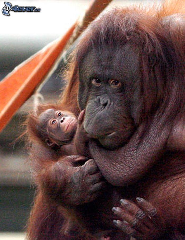 scimmie, cucciolo, gorilla