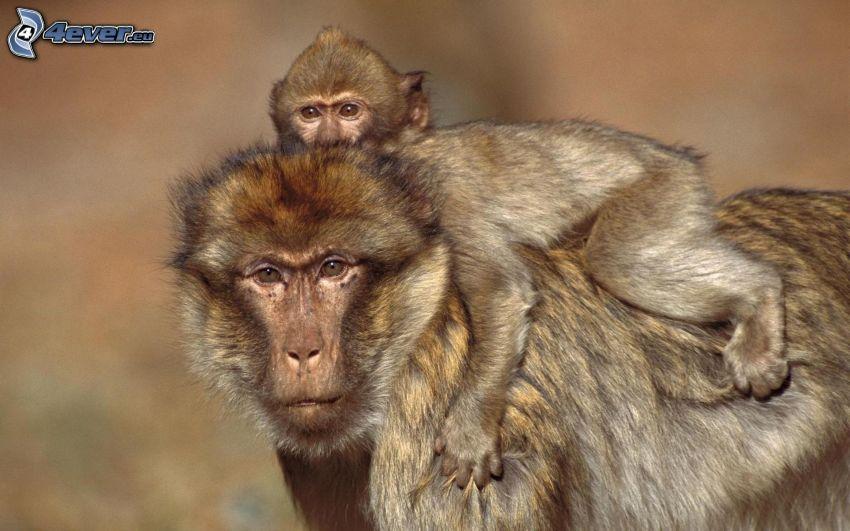 scimmie, cucciolo
