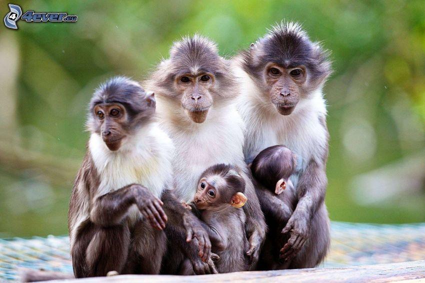 scimmie, famiglia