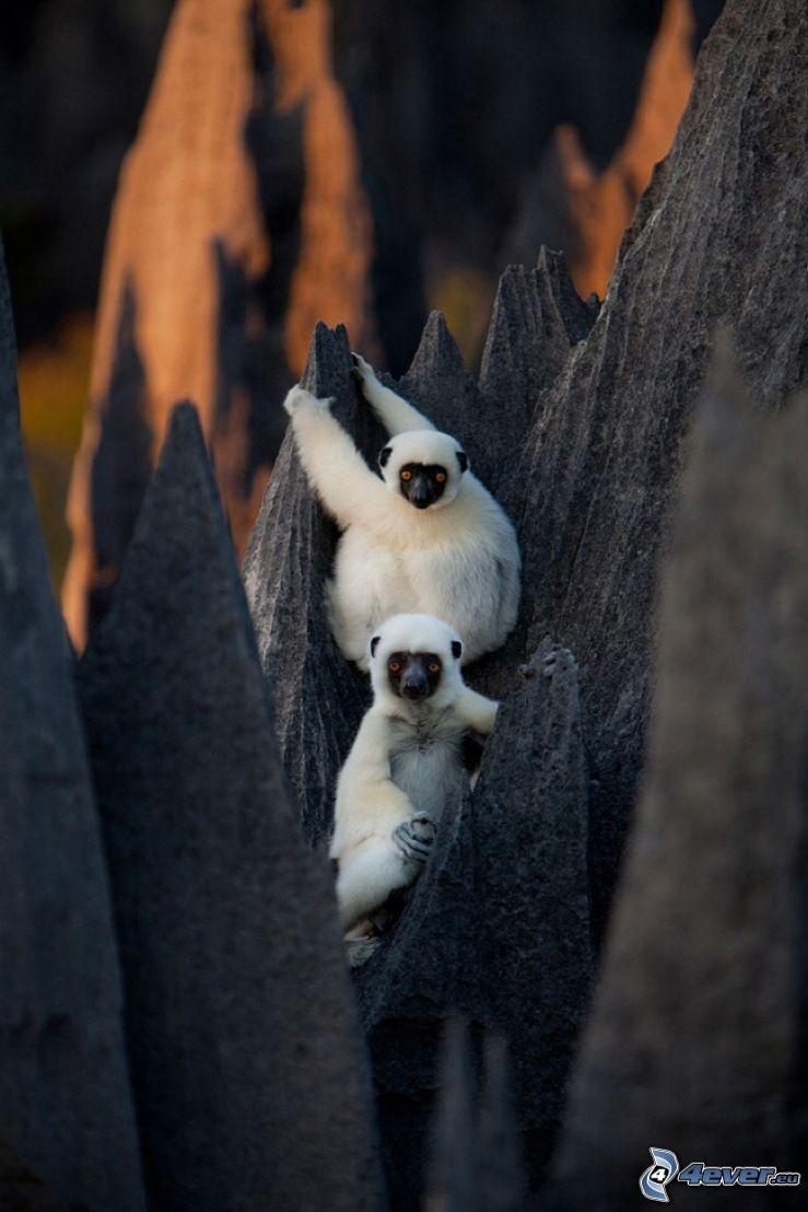 scimmie, rocce, ZOO