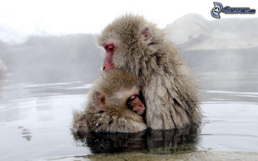 scimmie, scimpanzé