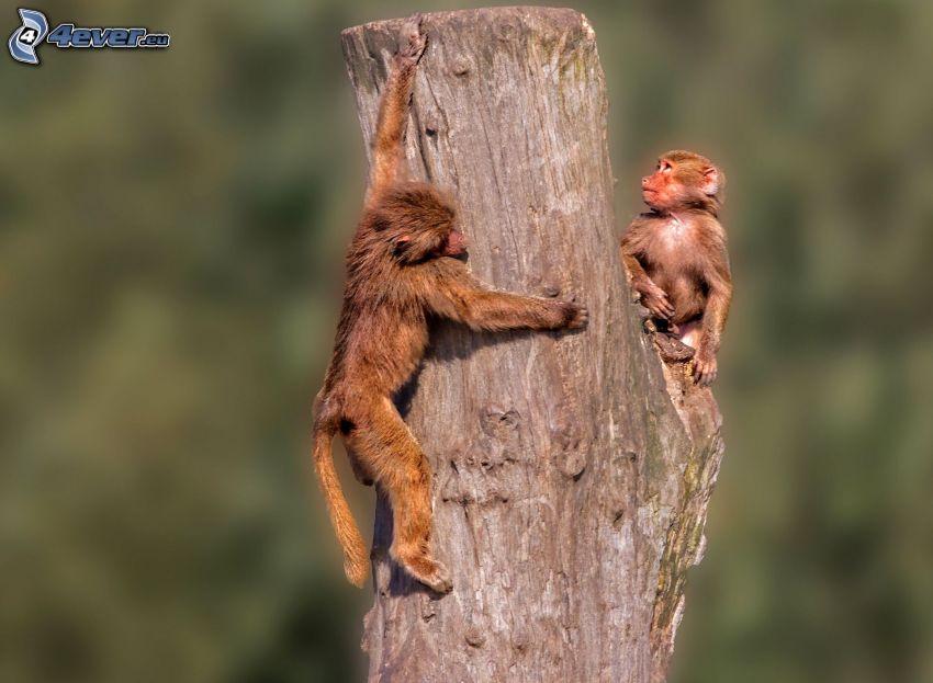 scimmie, tronco