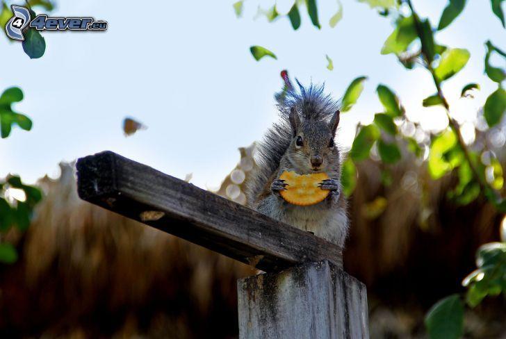 scoiattolo, biscotto