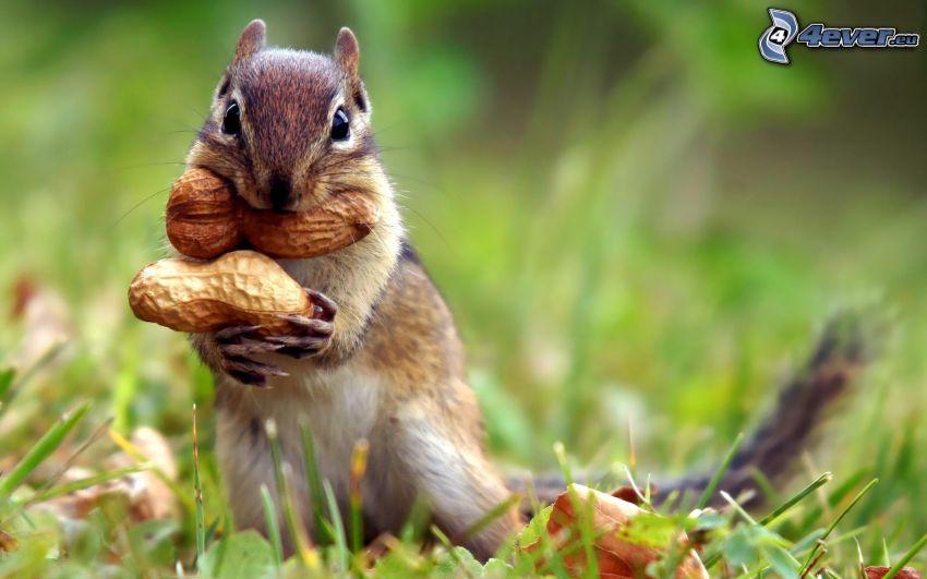 scoiattolo in erba, arachidi, Nocciole