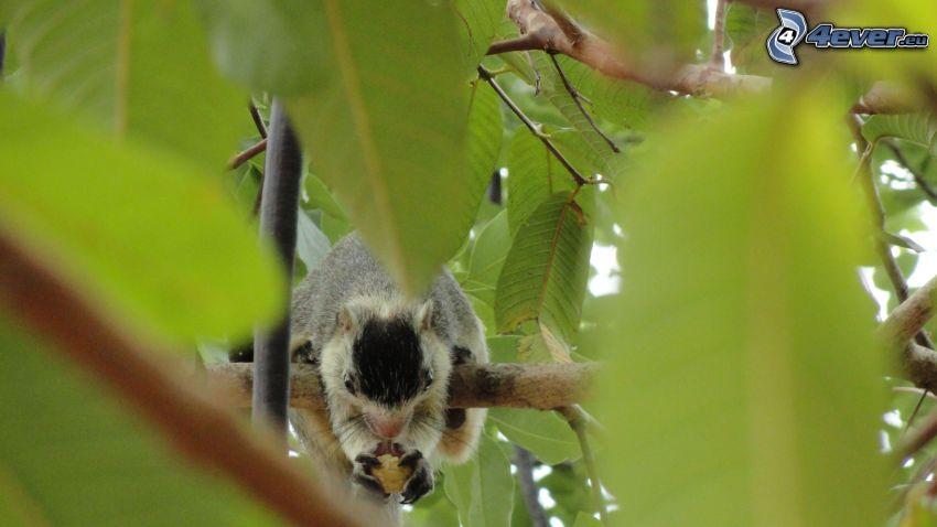 scoiattolo su un albero, cibo, ramoscello, foglie verdi