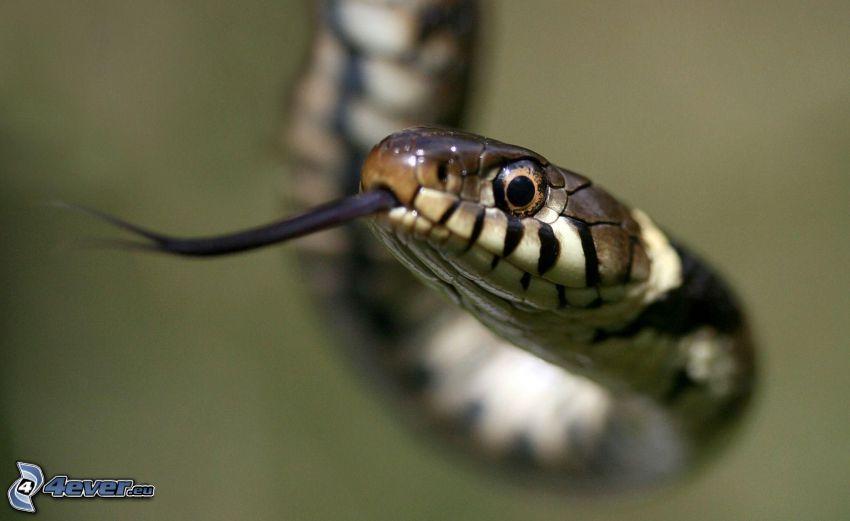 serpente, la lingua fuori