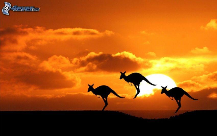 siluetta di canguro, canguri, tramonto nella savana, cielo arancione
