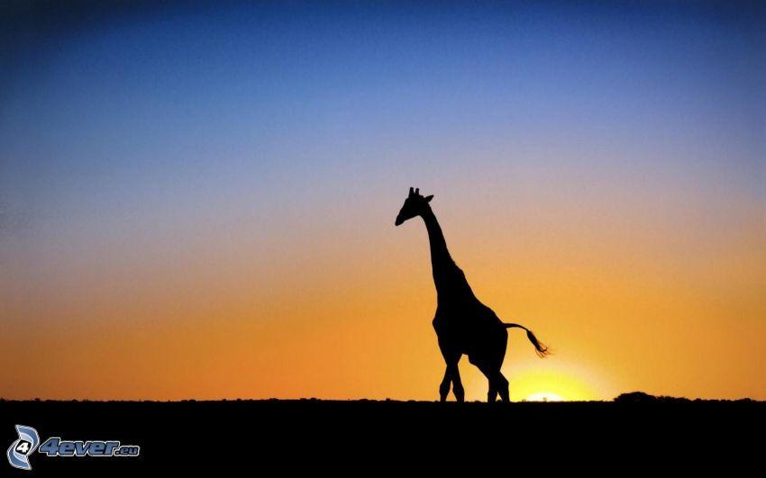 siluetta di una giraffa