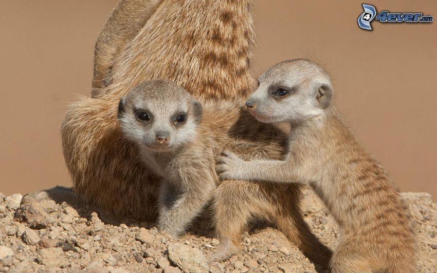 suricati, cuccioli