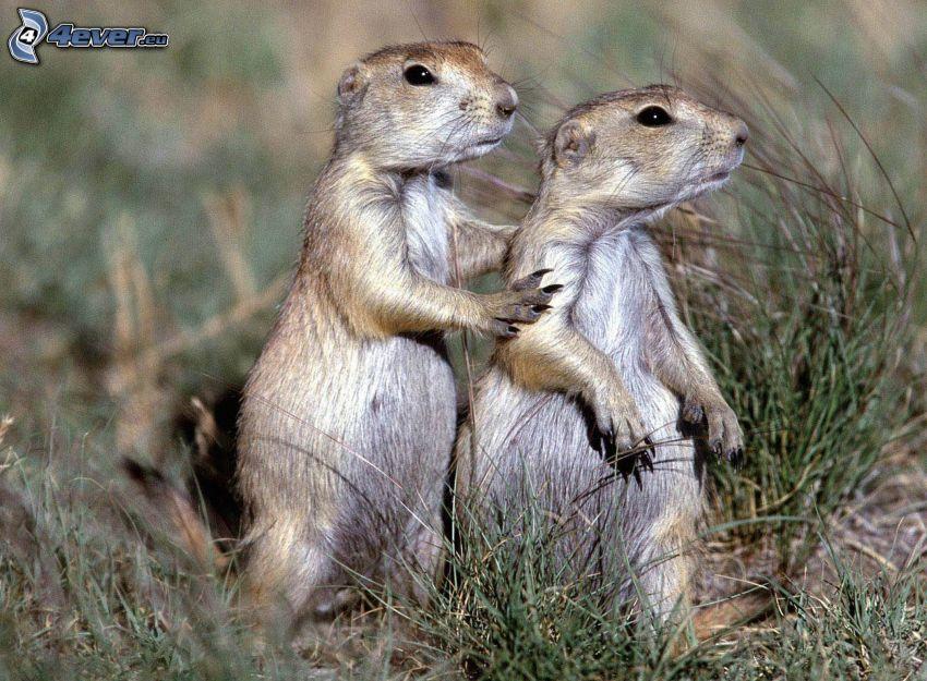 suricati, l'erba