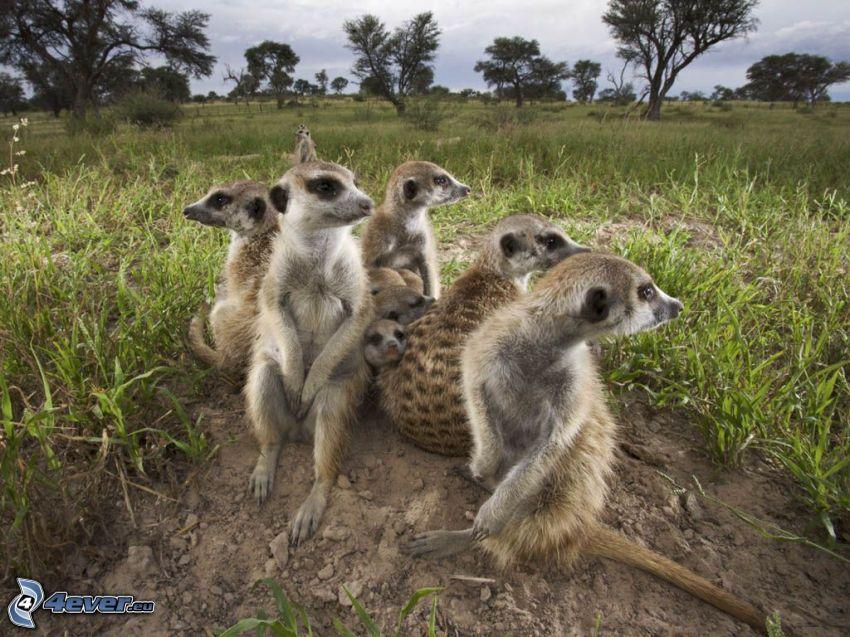 suricati, steppe