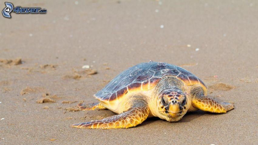 tartaruga marina, sabbia