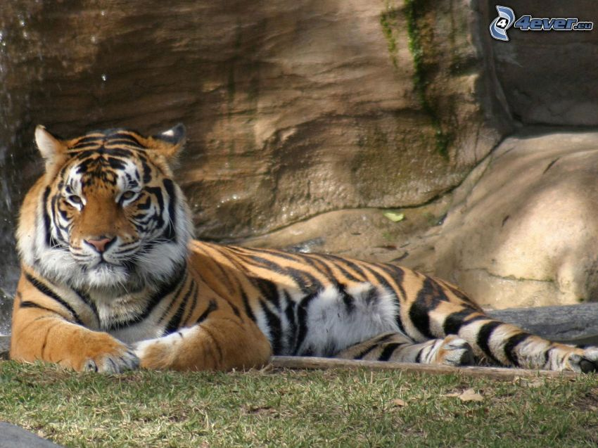 tigre, roccia, l'erba, cascata