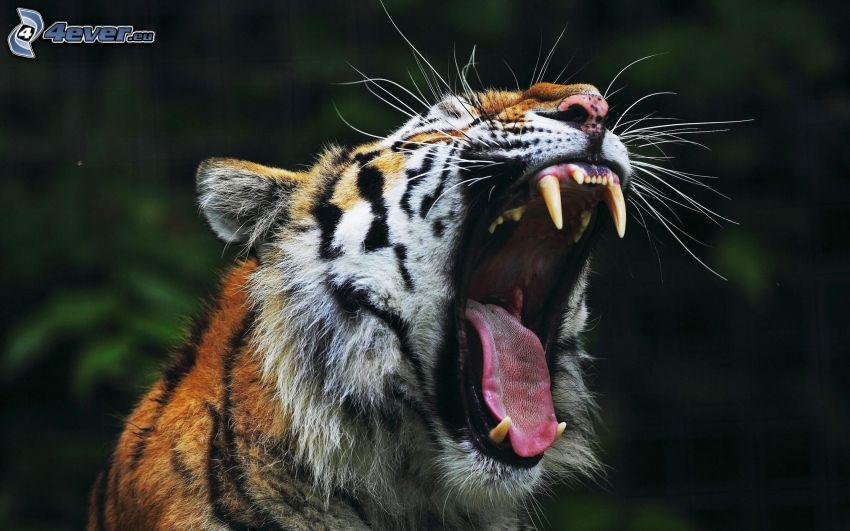 tigre, urlo