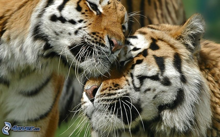 tigri, amore