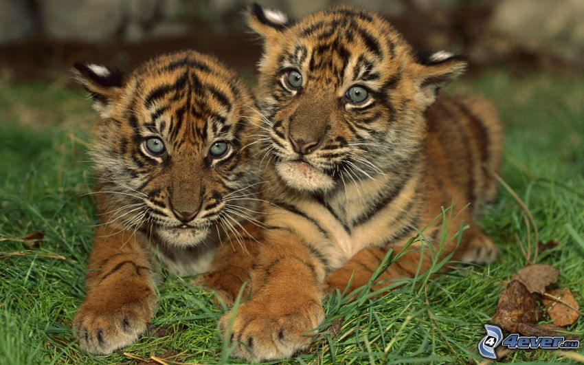 tigri piccoli, l'erba
