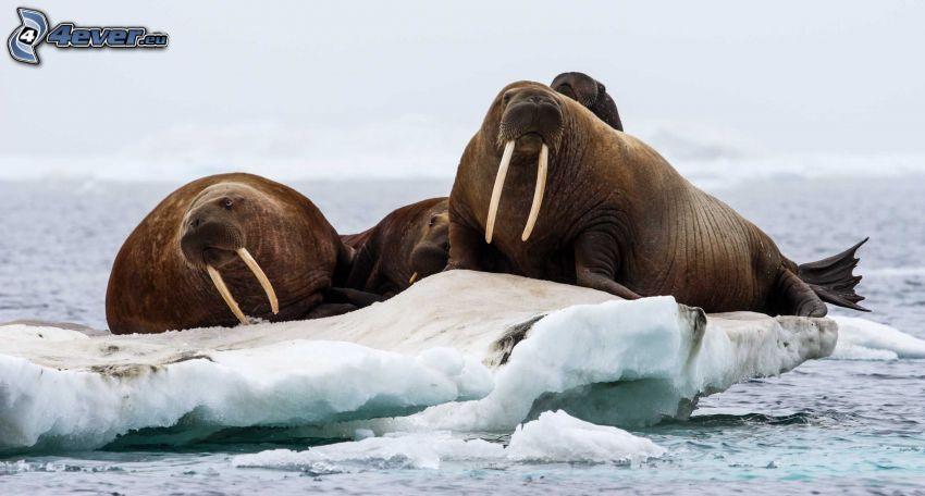 trichechi, lastre di ghiaccio
