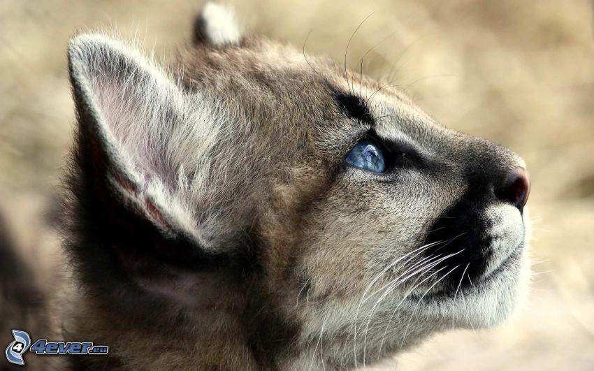 un puma giovane, cucciolo