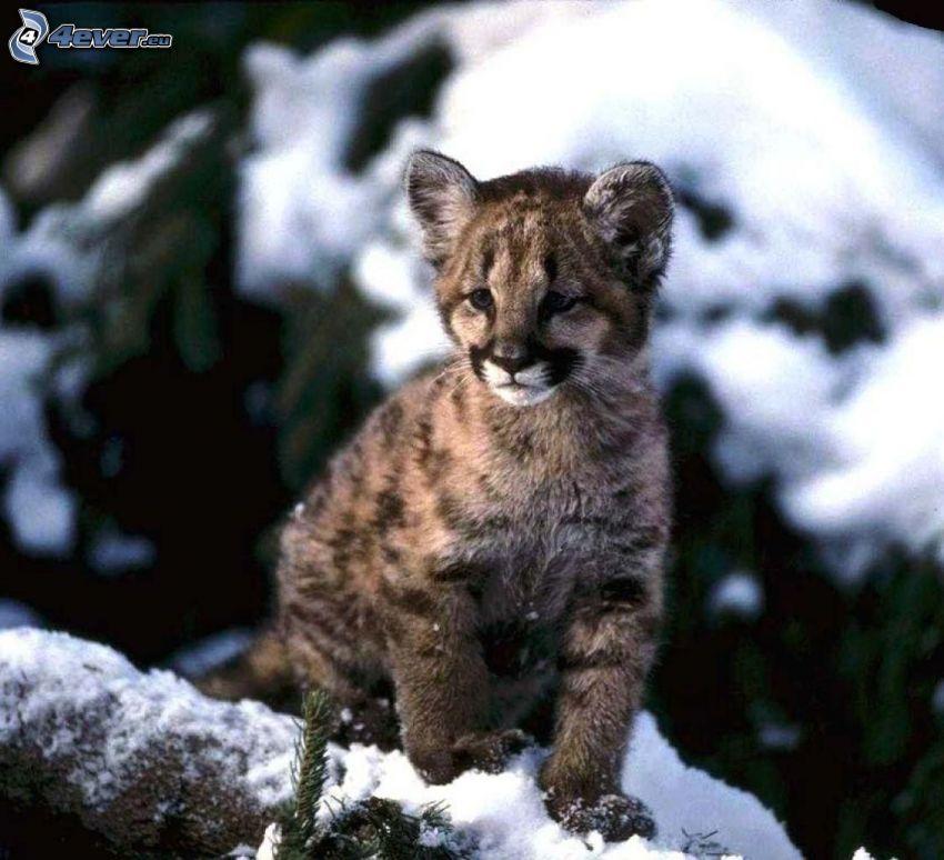 un puma giovane, neve