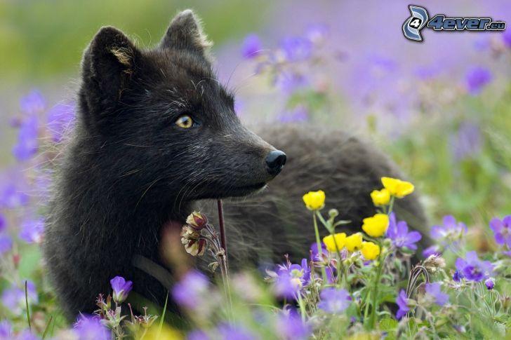 volpe, fiori