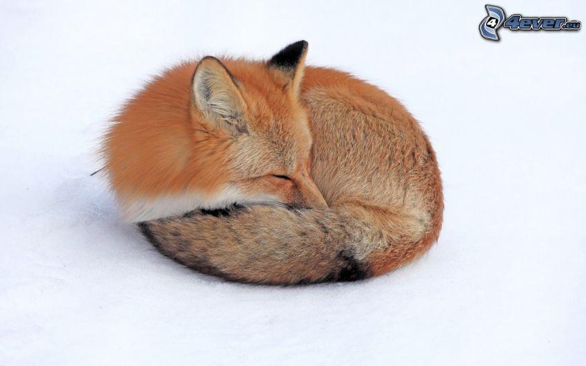 volpe addormentata