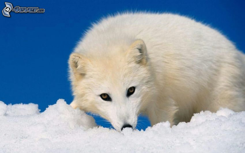 volpe artica, cucciolo, neve