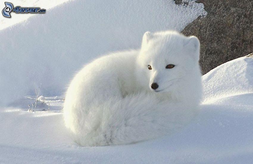 volpe artica, neve
