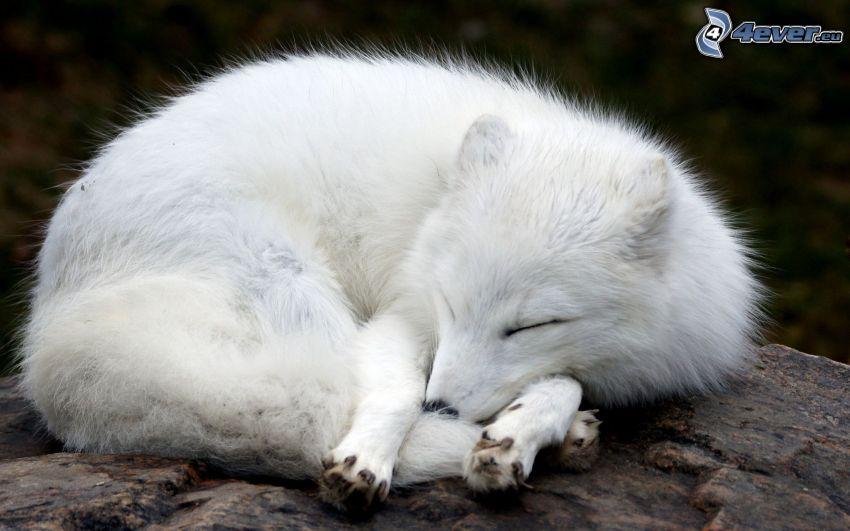 volpe artica, volpe addormentata