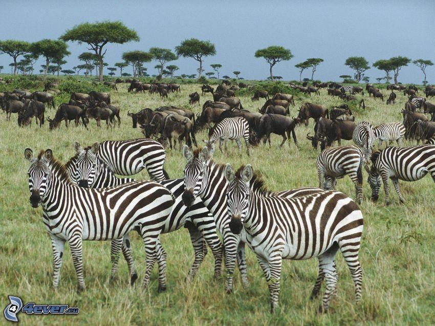 zebre, gnu, savana, Africa, natura