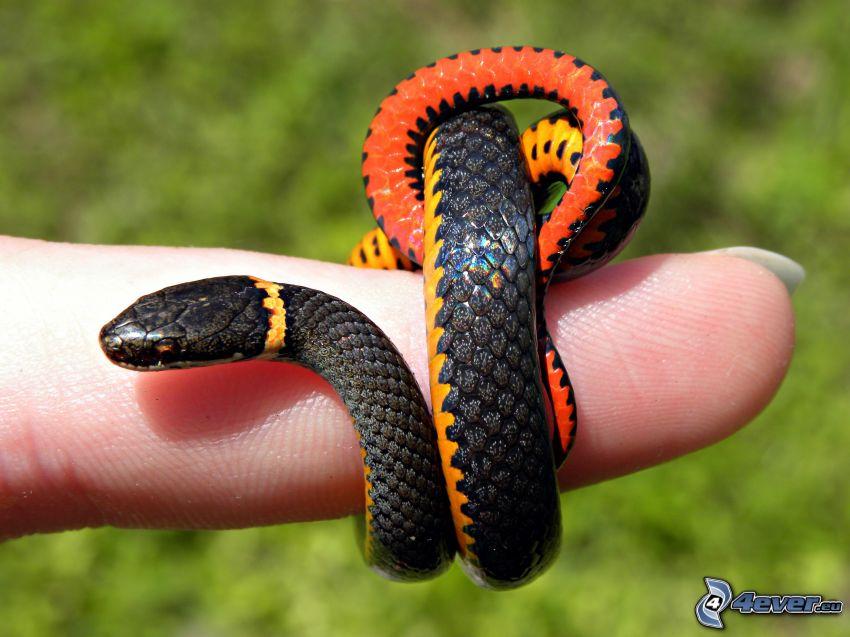 serpente, dito