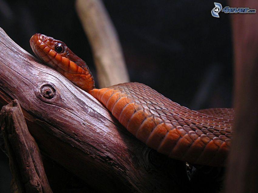 serpente, rami