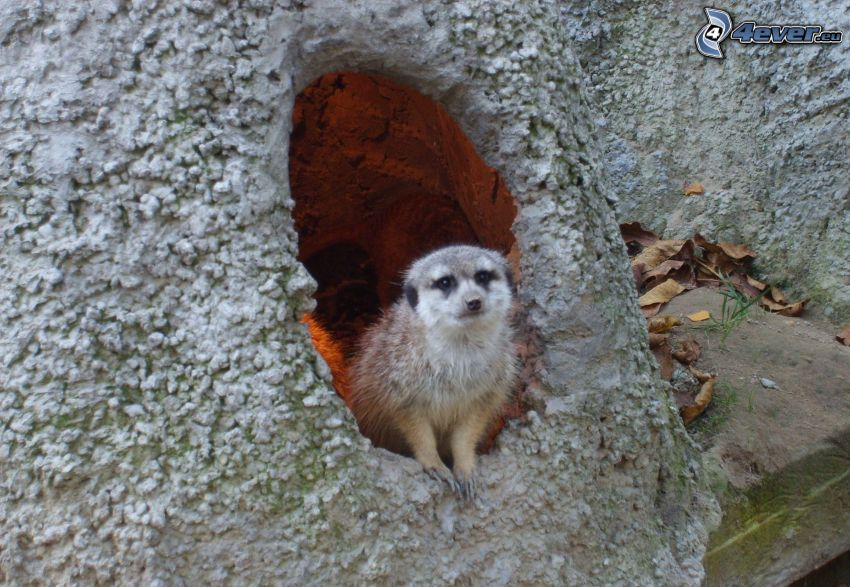 suricata, ZOO, animale