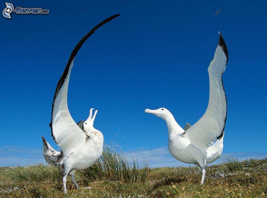albatri, ali, l'erba
