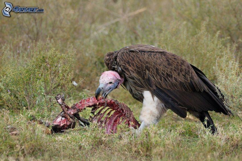 avvoltoio, cadavere, costole