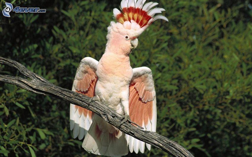 cacatua, pappagallo, ramo secco