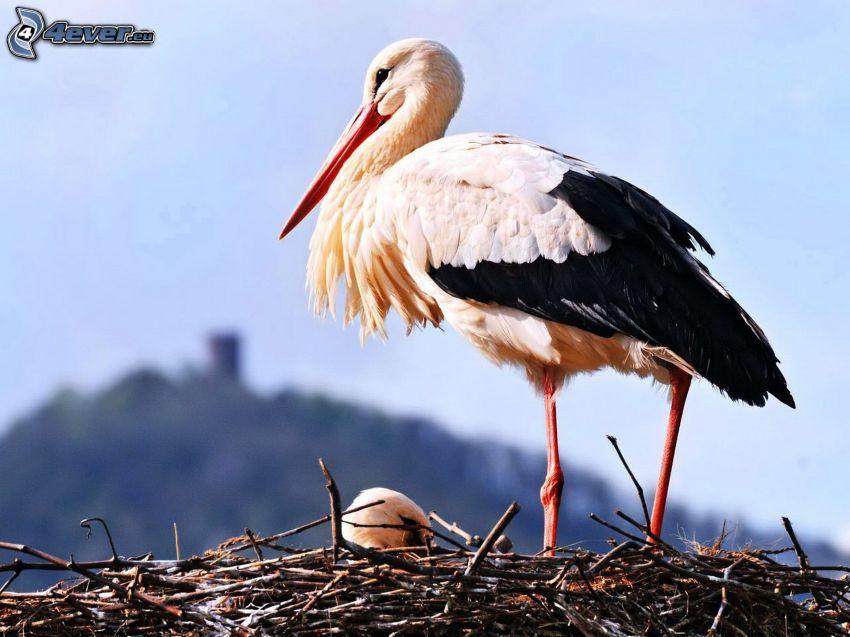cicogna, nido, cucciolo