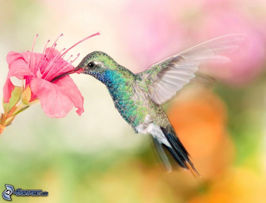 colibrì, fiore rosa