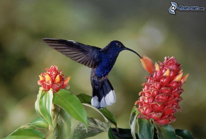 colibrì, fiore rosso
