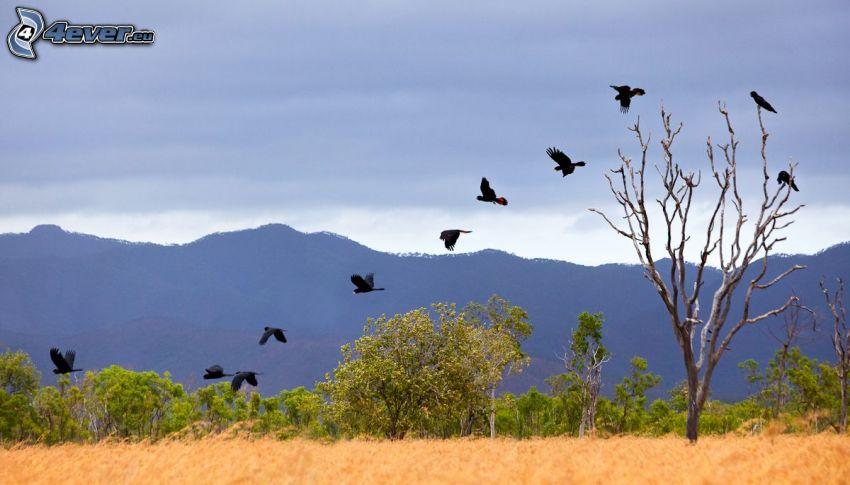 corvi, volo, albero secco, alberi