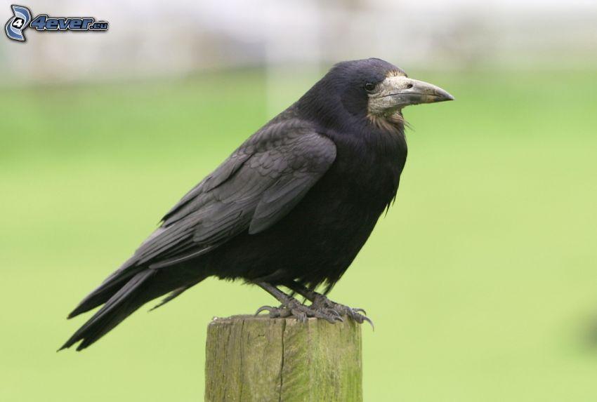 corvo, legno
