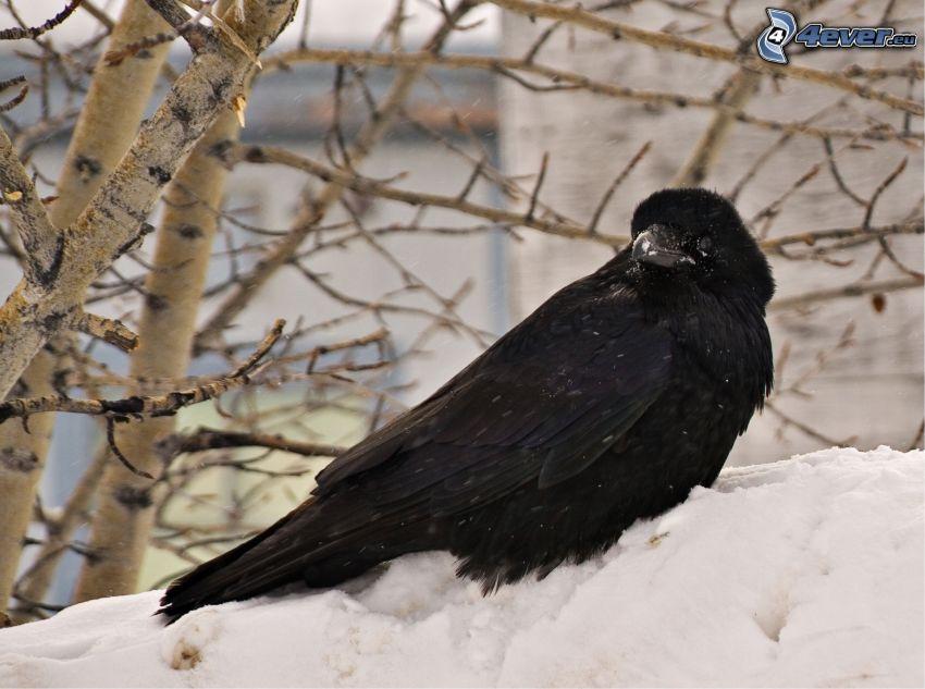 corvo, neve