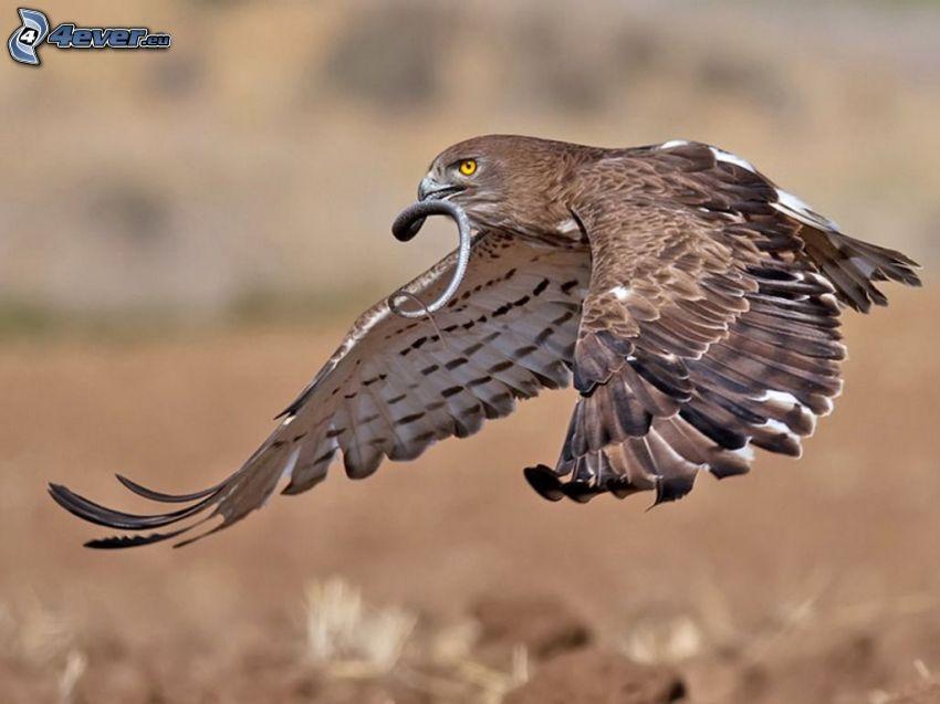 falcone, serpente, preda, volo