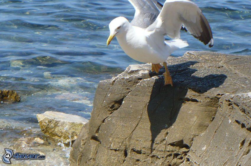 gabbiano, ali, roccia nel mare