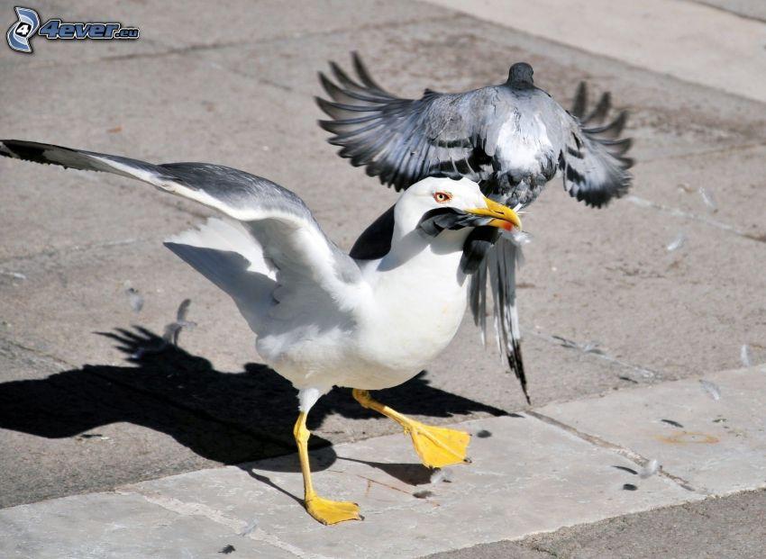 gabbiano, piccione, battaglia