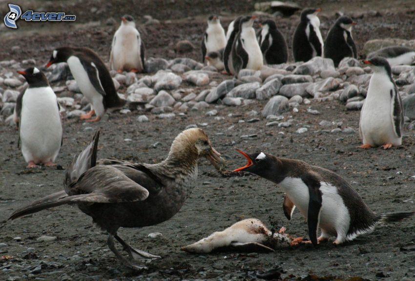 gabbiano, pinguini