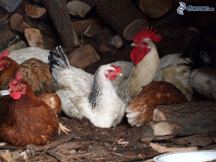 galline, gallo, legno, stalla