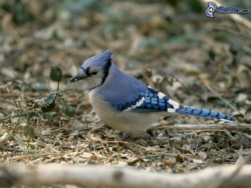 ghiandaia, uccellino blu