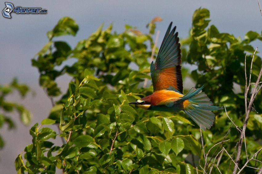 Merops apiaster, foglie verdi