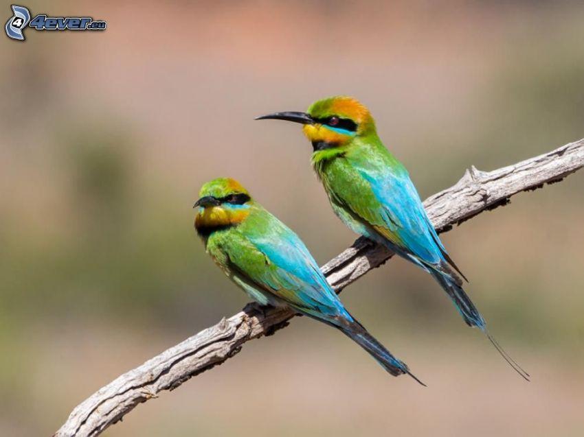 Merops apiaster, uccelli colorati su un ramo