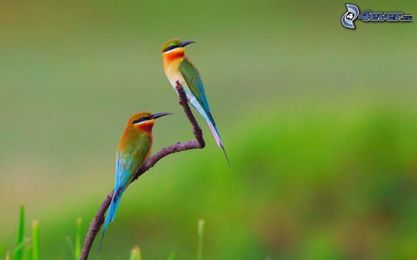 Merops apiaster, uccelli su ramo